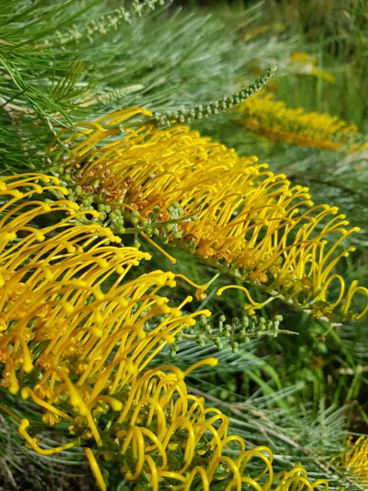 Flowers of grevillea poorinda royal mantle