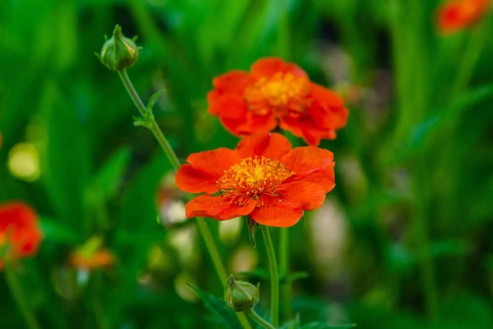 Orange colored geum flowers