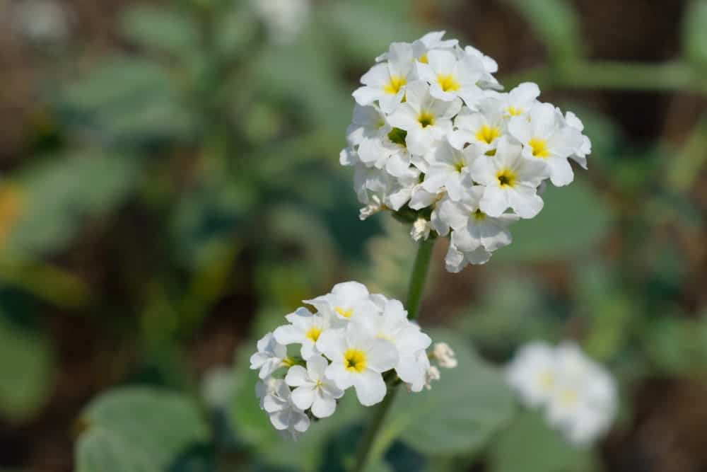White-Colored Heliotropium Hirsutissimum Grauer