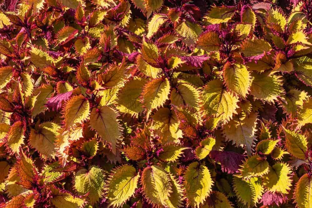 Henna; a cultivar of the Coleus plant