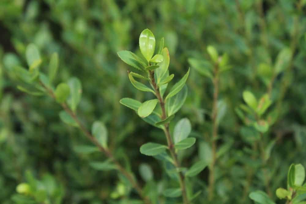 Green Holly Bushes
