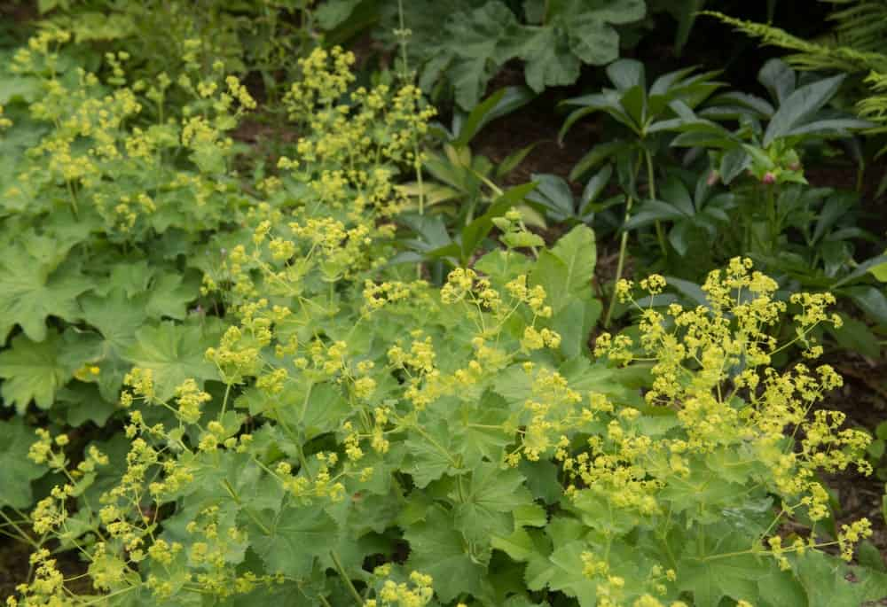 Summer Flowering Lady's Mantle
