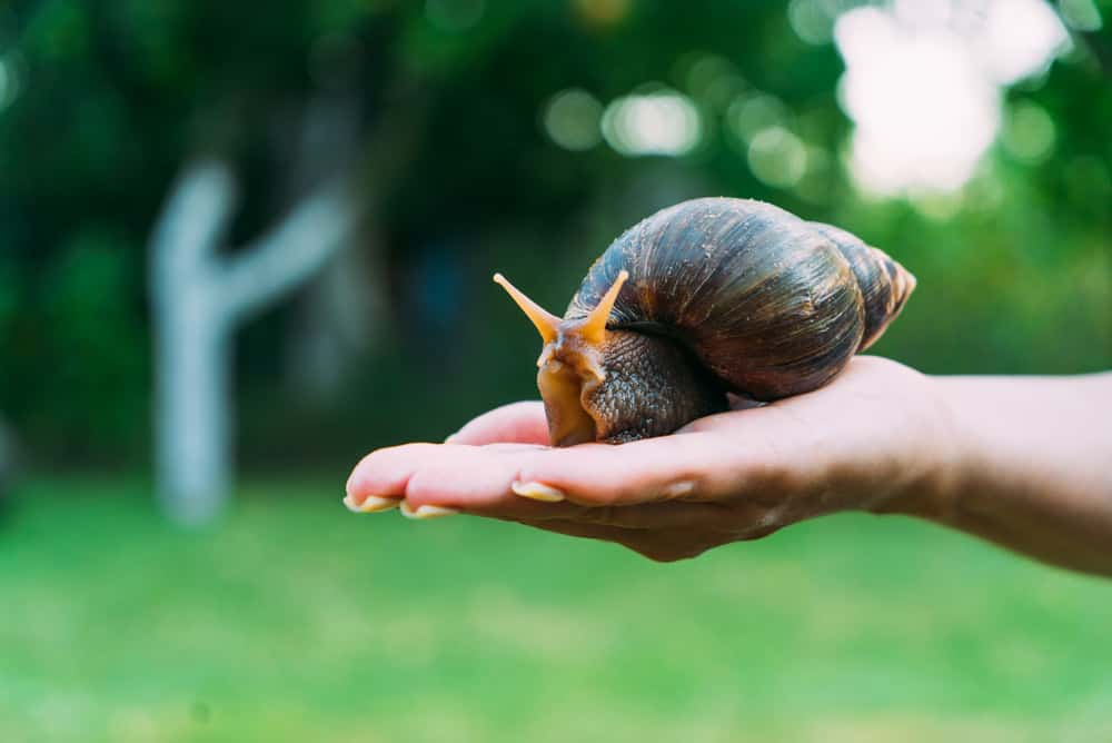 Large snail in a persons hand