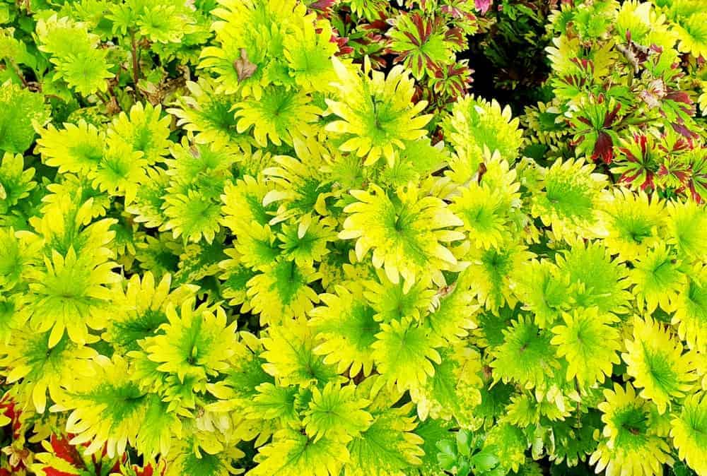 Limelight; a cultivar of the Coleus plant