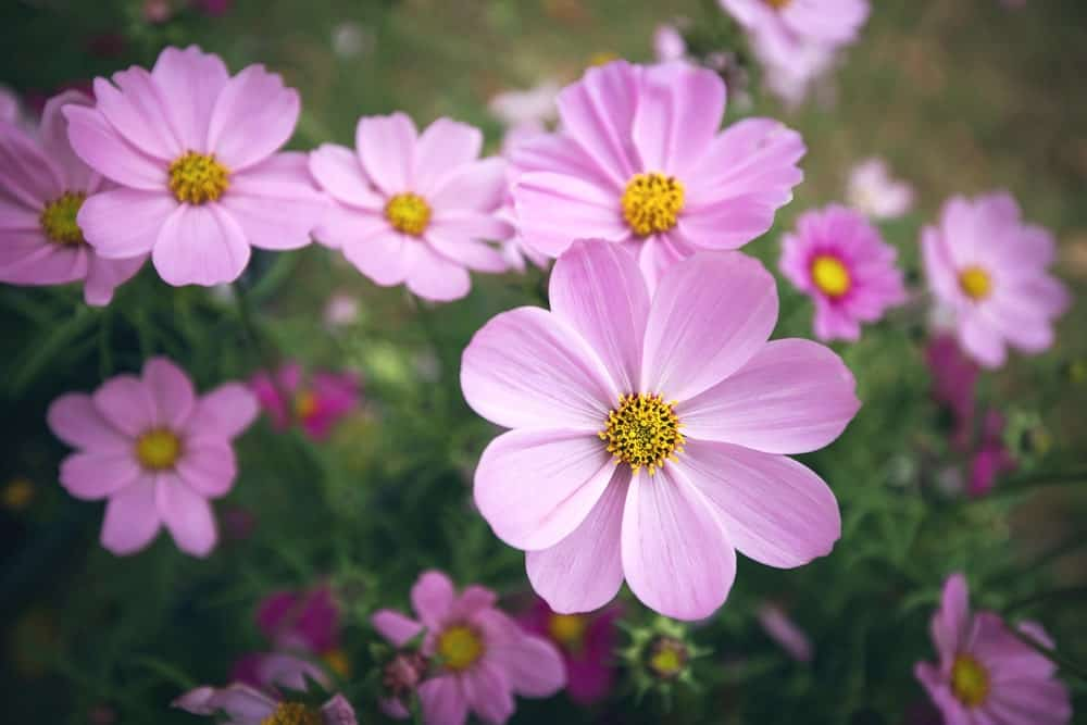 Coreopsis plant flowers in pink color with a golden center