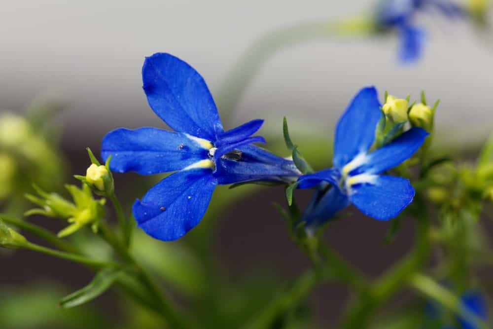Blue purple lobelia erinus flower