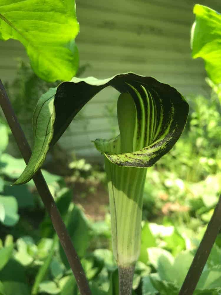 Close up of jack in the pulpit