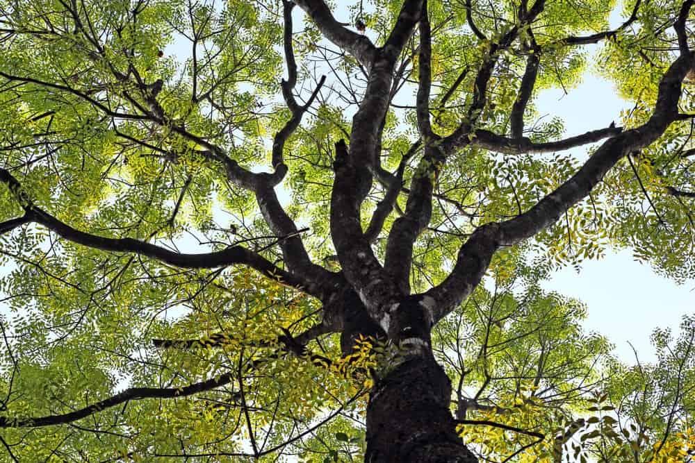 Large mahogany tree