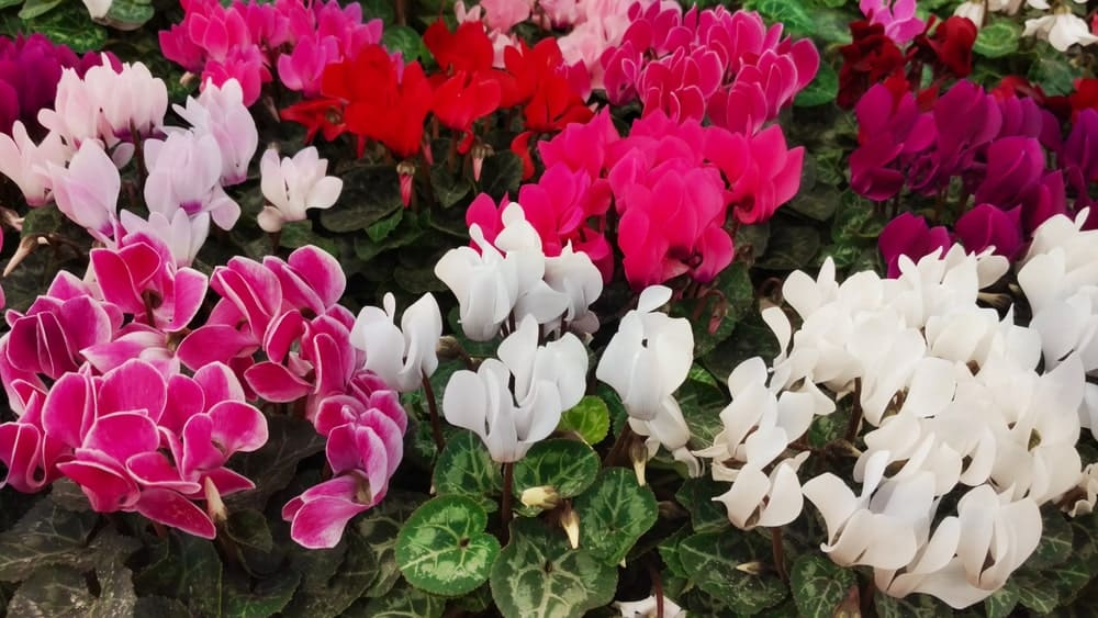 A lot of colorful Cyclamen Spurge flowers