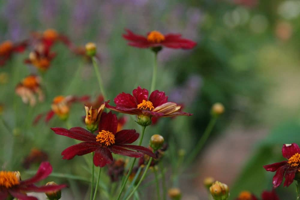 Coreopsis plant flowers in a velvety red color with the center being golden