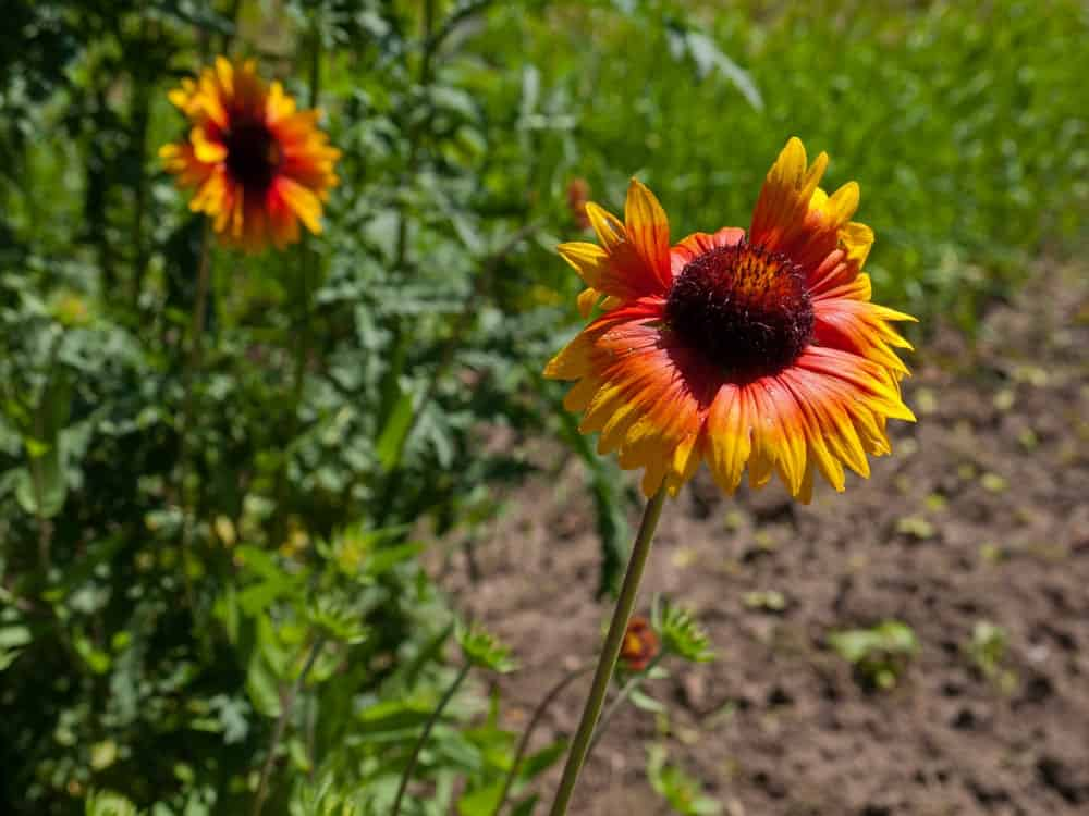 Mesa Bright Bicolor Gaillardia flowers