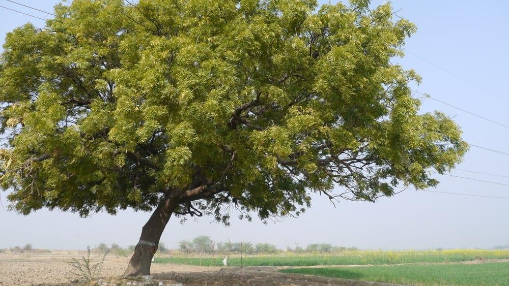 Big neem tree