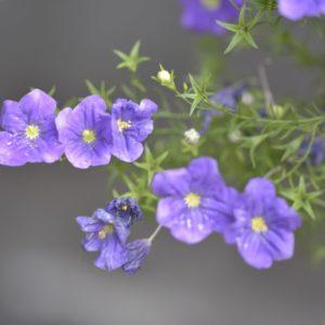 Nierembergia flowers