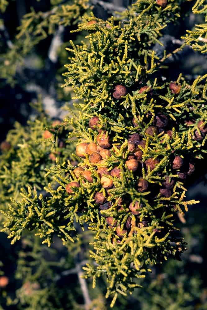 One Seed Juniper with Berries