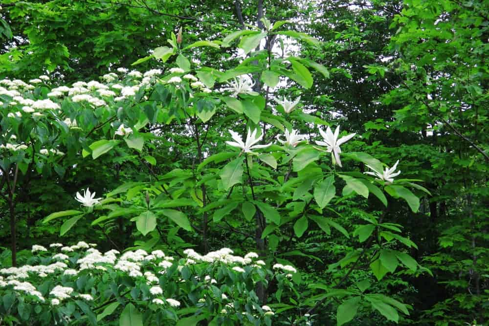 Red Osier dogwood; a type of Dogwood tree