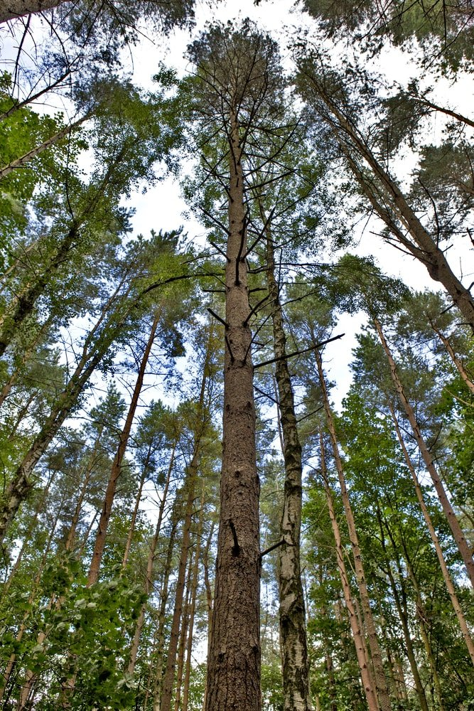 extremely tall patagonian cypress tree growing amidst tall redwood