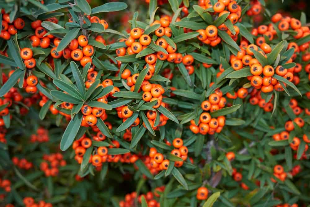 Orange pomes of Pyracantha angustifolia