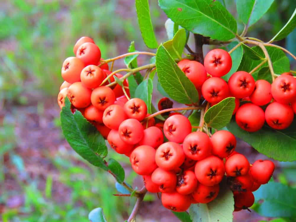 The bright red berries of the Pyracantha coccinea plant