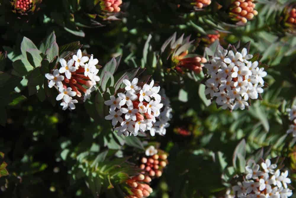 Flowers and fruits of Pyracantha crenulata