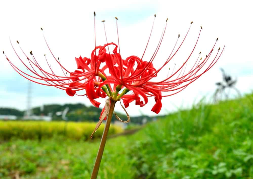 Red spider lily flower