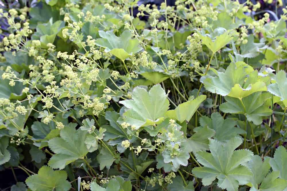 Green foliage with Chartreuse Flowers in a Garden