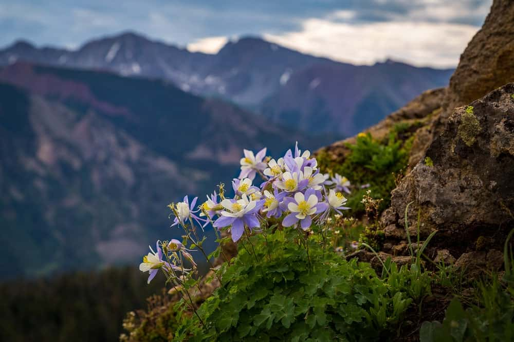 Rocky Mountain Columbine flowers