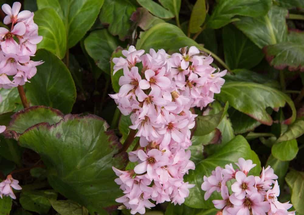 White bergenia hybrid variety