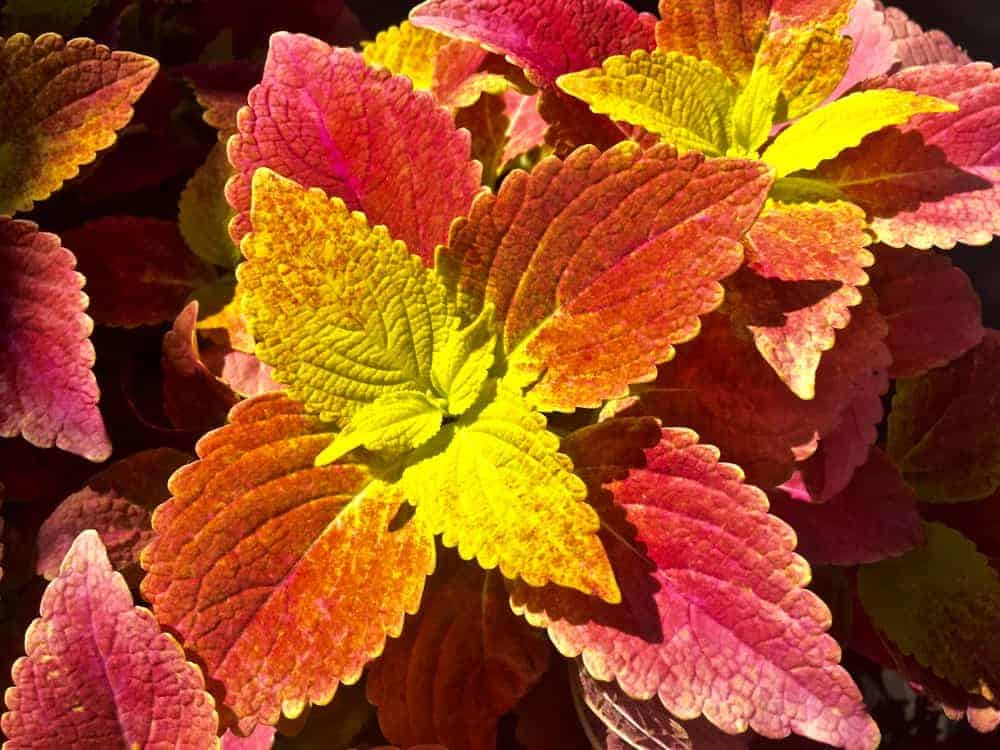 Rustic Orange; a cultivar of the Coleus plant