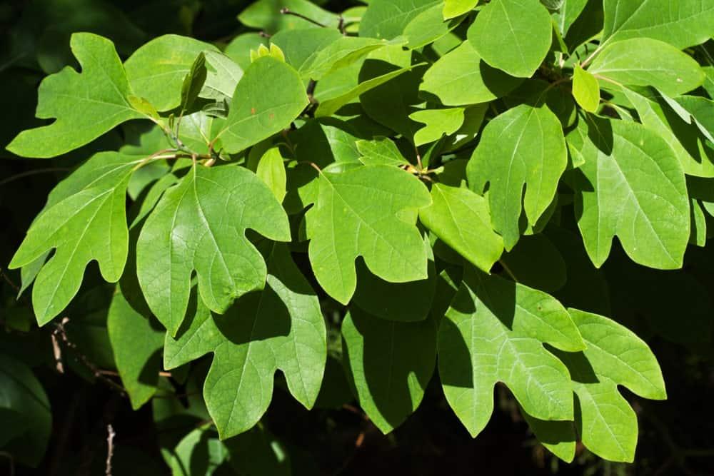 Sassafras tree leaves