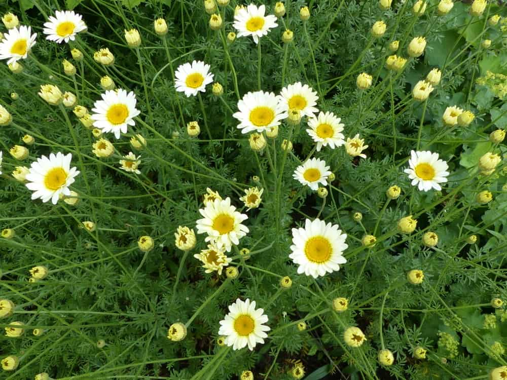 White Flowers with Big Bright Yellow Centers