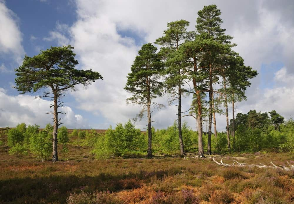 Scots pine trees in dry location