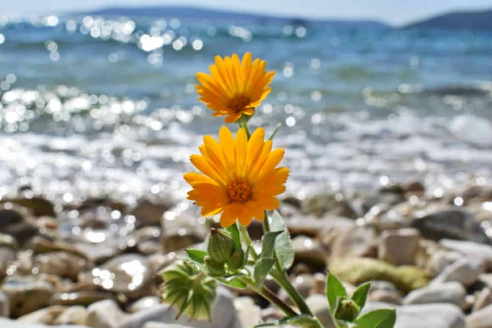 Sea Marigold flower