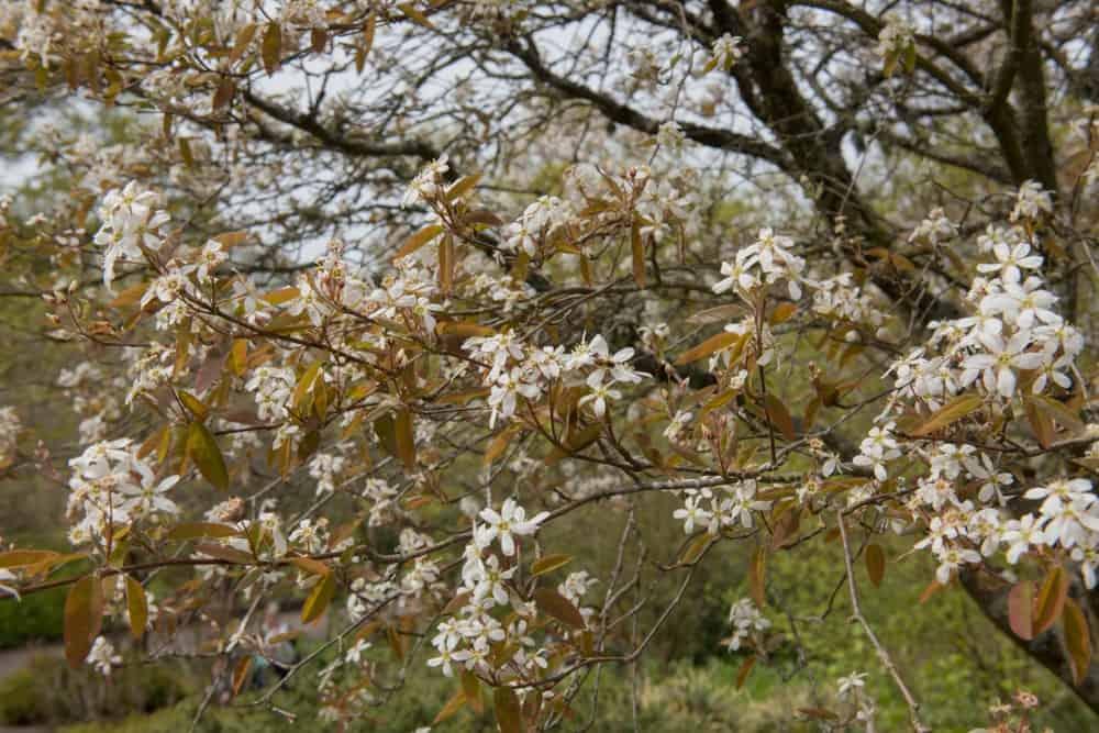 Blossomed shadbush tree