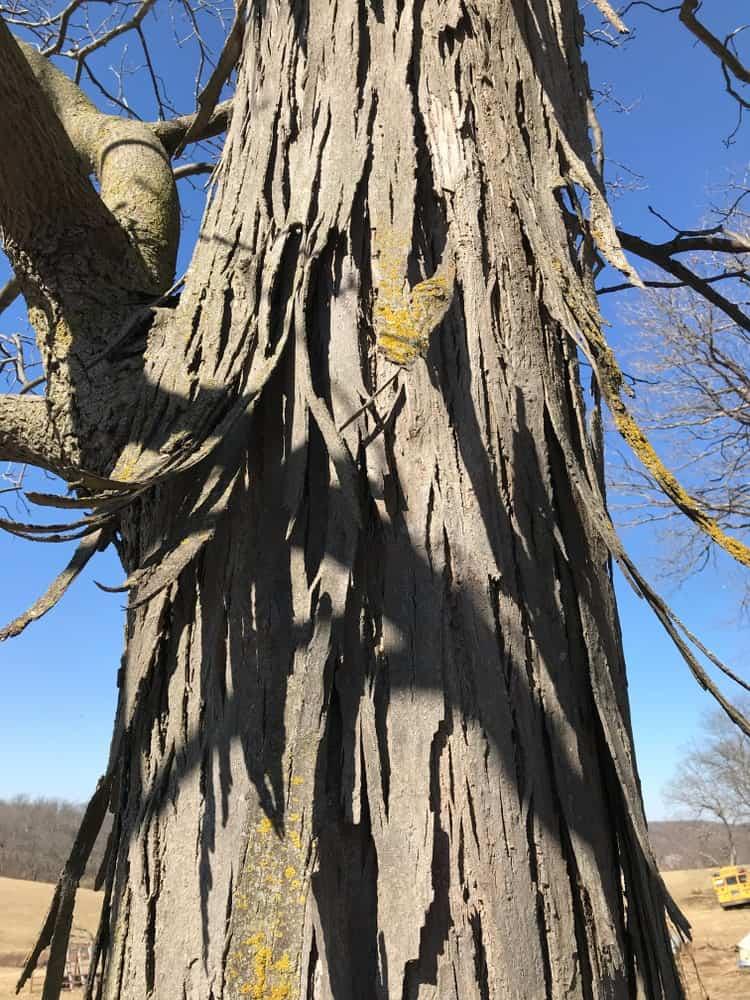 Bark of shagbark hickory tree