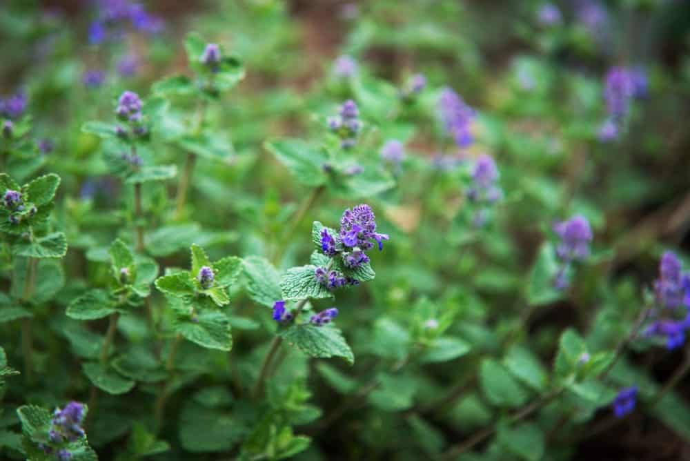 Gorgeous Catmint Flowers