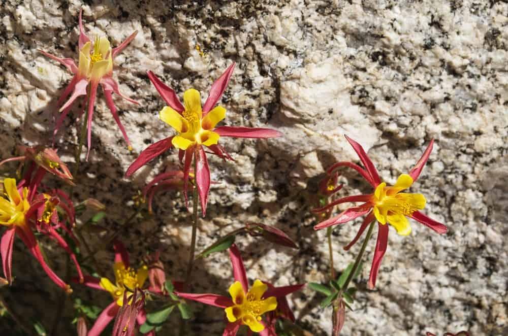 Aquilegia pubescens flower