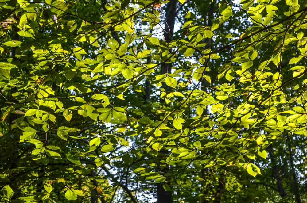 Leaves of Slippery elm tree