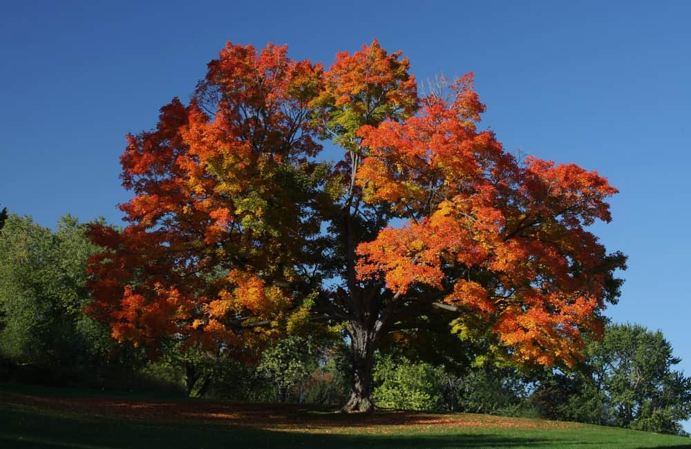 Sugar maple tree during fall time