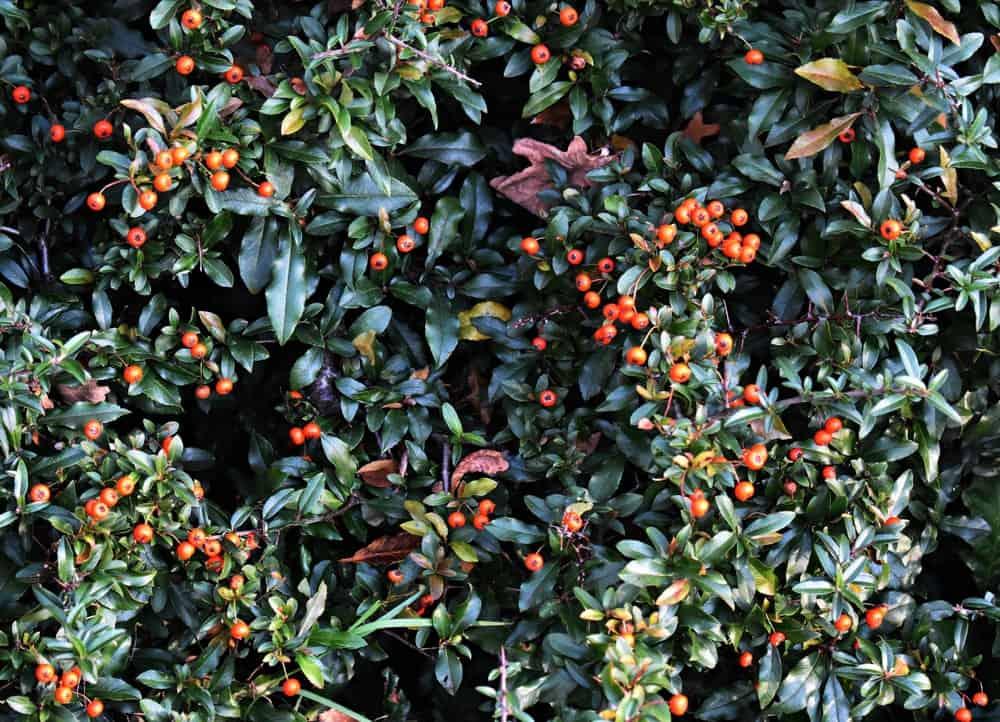 Firethorn plant