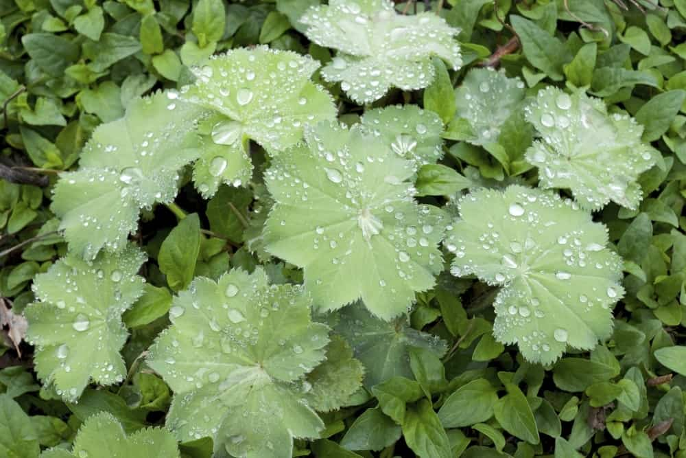 Star-like Leaves with Raindrops on the Surface