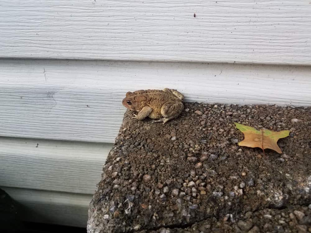 Toad near the side of a house