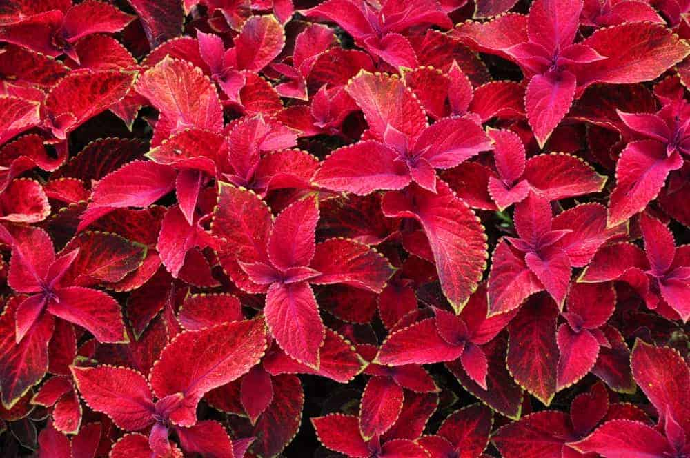 Trailing Plum; a cultivar of the Coleus plant