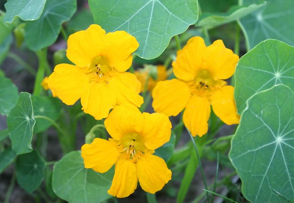 Yellow nasturtiums