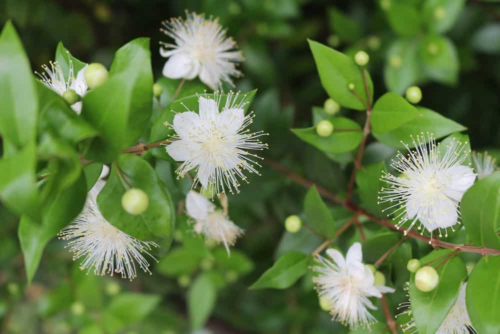 Myrtle with White Flowers