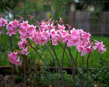 Pink naked lily flowers