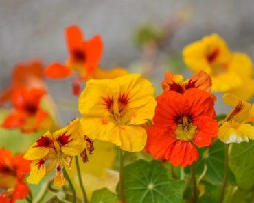 Bright nasturtium flowers