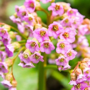 Light pink bergenia flowers