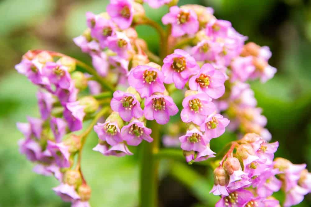 Light pink bergenia flowers