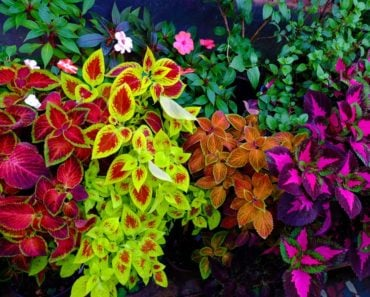 Many multicolored Coleus plants in a garden.