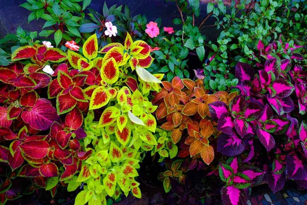 10 Different Types Of Coleus Flowers
